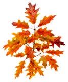 Congé coloré vibrant de chêne d'automne (feuille), branche, d'isolement photos stock