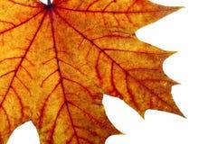 Congé d'érable d'automne Images stock