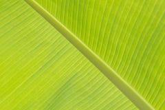 Congé de banane Photographie stock libre de droits