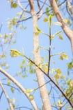 Congé de Bodhi sur l'arbre Image libre de droits