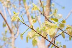 Congé de Bodhi sur l'arbre Images stock