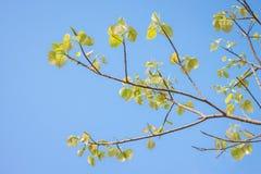 Congé de Bodhi sur l'arbre Photos libres de droits