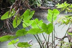 Congé de Caladium dans la forêt tropicale Photos stock