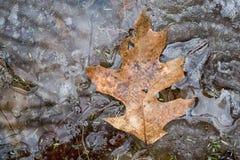 Congé de chêne sur la glace de fonte Image stock