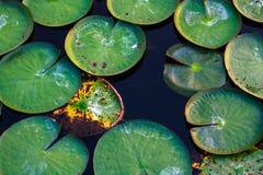Congé de Lotus dans la piscine Images stock