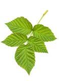 Congé de vert de framboise Image stock