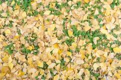 Congé jaune de ginkgo et mauvaise herbe verte sur la terre Image stock