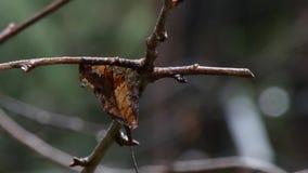Congé mort de chute s'accrochant à une branche d'arbre dormante clips vidéos