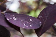 Congé pourpre avec des baisses de pluie Photos stock