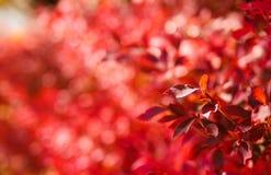 Congé rouge en automne japonais photos libres de droits