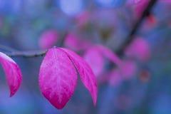 Congé rouge en automne, macro tir Photographie stock