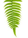 Congé vert de fougère Image libre de droits