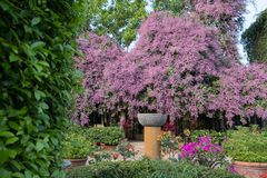 Beautiful pink Congea tomentosa tree in the garden.may be called Wooly Congea,Shower Orchid,krua on. Congea tomentosa is a large tropical evergreen vine Royalty Free Stock Image