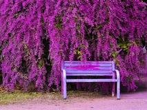 Congea tomentosa Roxb gammal stol och härlig blommaträdgård Arkivfoto