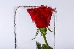 Congelado aumentou no gelo Fotos de Stock Royalty Free