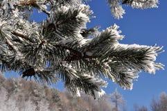 Congelado no ramo Imagem de Stock