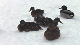 Congelado nos patos e nos patos da neve fotografia de stock