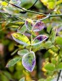 Congelado subieron las hojas en escarcha fotos de archivo libres de regalías