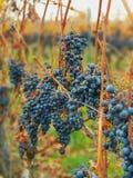 Congelamento dell'uva fotografia stock libera da diritti