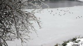 Congele o ramo de árvore coberto com os patos no gelo no fundo video estoque