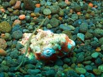 Conger eel Stock Images