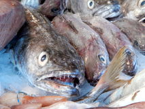 Congers at fish market Stock Photo