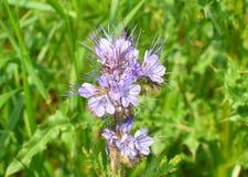 Congesta Phacelia с голубыми цветками обильно приносит нектар стоковая фотография