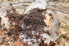 Congestion of ants Royalty Free Stock Photos