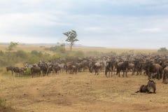 Congestion of herbivores. Kenya. Africa Stock Photo
