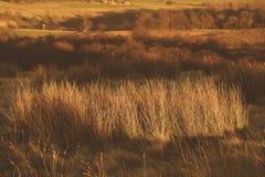 Conglomeratus Juncus, γνωστό συνήθως ως συμπαγής βιασύνη κατά τη διάρκεια εθνικού πάρκου Τσέσαϊρ περιοχής ηλιοβασιλέματος του μέγ στοκ εικόνες