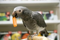 African Grey and a Carrot Stock Photos
