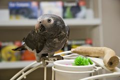 African Grey Parrot on Playgym Stock Images