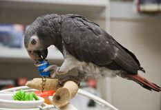 African Grey Parrot on Playgym Stock Image
