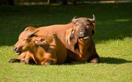 Congo Buffalo. Two buffalos lying in the sun Royalty Free Stock Photography