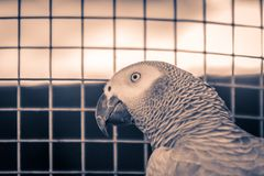 Congo grey parrot is in the steel cage. The grey parrot or Afric. An grey parrot (Psittacus erithacus) is an Old World parrot in the family Psittacidae Royalty Free Stock Photography