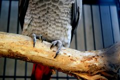 African grey parrot sitting on tree branch royalty free stock image