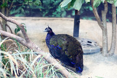 Congo Peafowl Royalty Free Stock Image