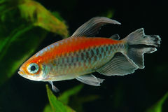 Free Congo Tetra Stock Photo - 56374040