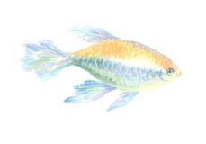 The Congo tetra. Congo tetra. Exotic decorative fish on a white background. Watercolor painting Royalty Free Stock Image