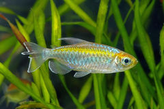 Congo tetra stock photography