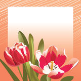 Congratulation card with tulips. Vector illustration Royalty Free Stock Images