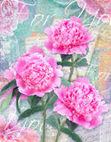 Congratulations card with beautiful peonies on grunge background Royalty Free Stock Photo