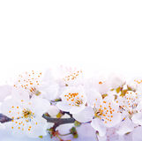 Congratulatory background with spring flowers Stock Images