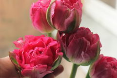 Congratulatory bouquet of tulips. Touch to bud gently pink tulip. soft focus Stock Photos