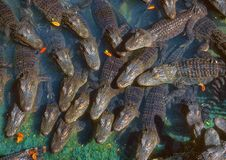 A congregation of alligators. Royalty Free Stock Photos
