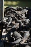 Congregazione degli alligatori Fotografia Stock