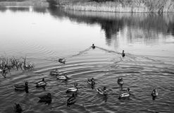 Congress Birds in coastal duck family Land. In the black and white aesthetics. Duck family in coastal, Gdansk, Poland. Photo was taken by camera Exakta VX 1000 stock images
