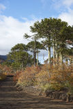 Conguillio National Park in southern Chile. Araucania Trees Araucaria araucana in Conguillio National Park in southern Chile Stock Photo