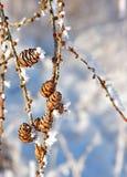Coni con i cristalli della neve Fotografia Stock