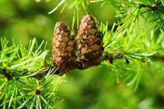 Coni del larice Il mulino di Larix decidua del larice europeo si ramifica con i coni ed il fogliame del seme sull'albero di laric fotografia stock libera da diritti